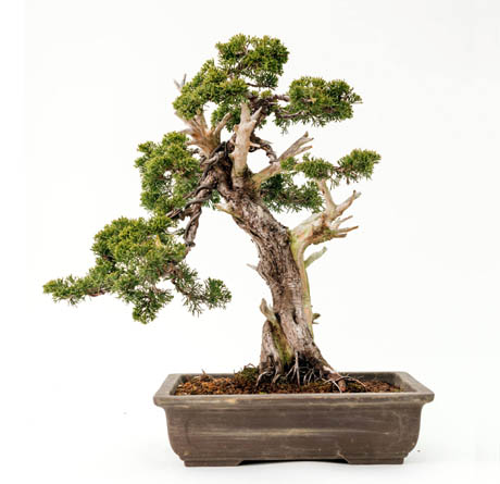 arbol junipero bonsai